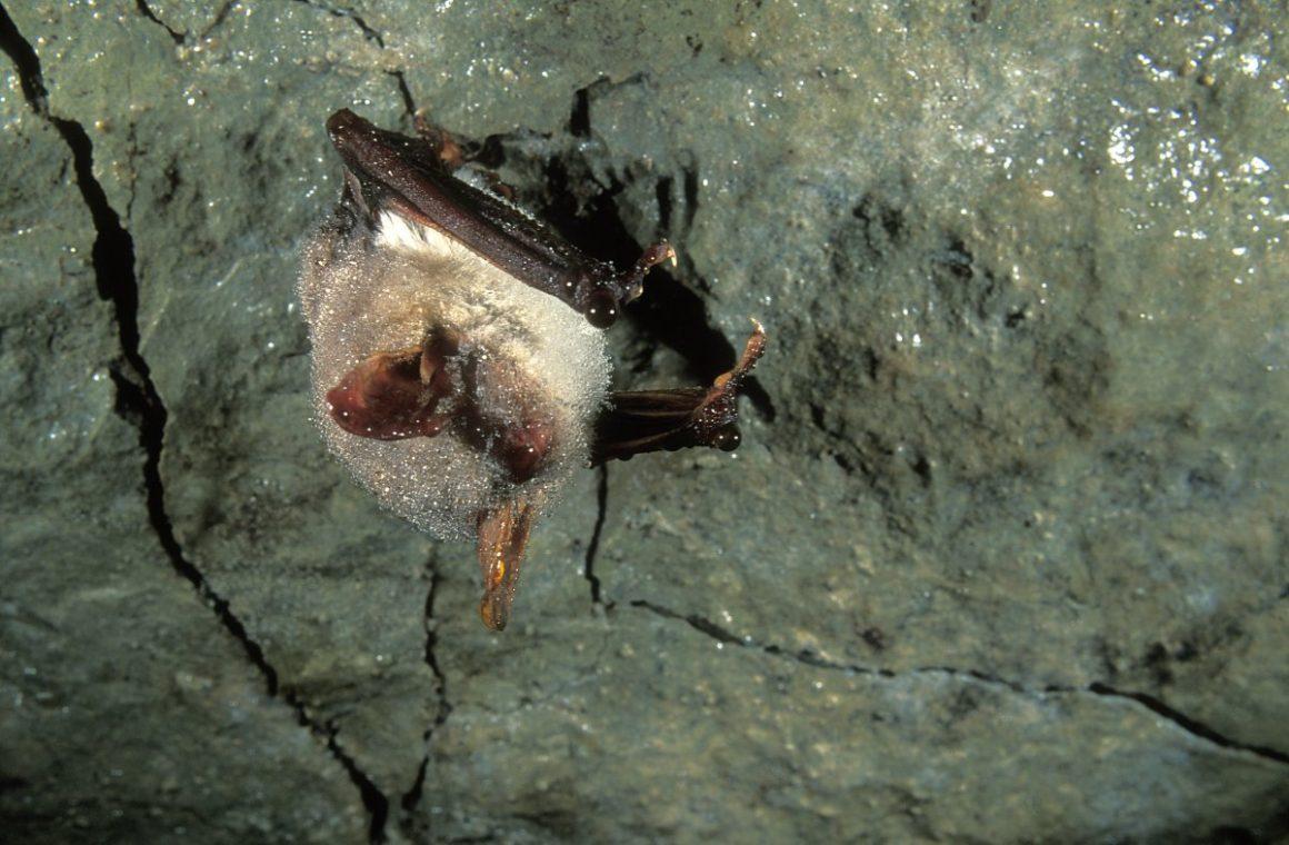 Myotis myotis