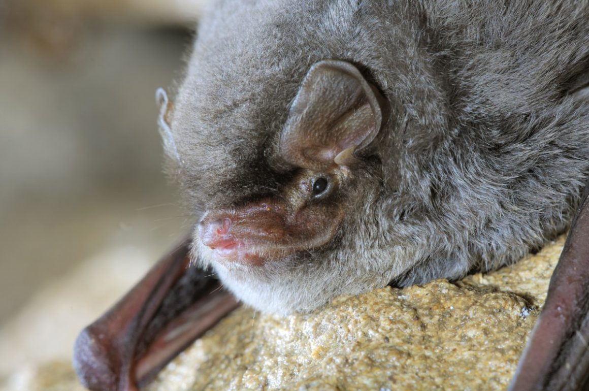 Bet winged bat