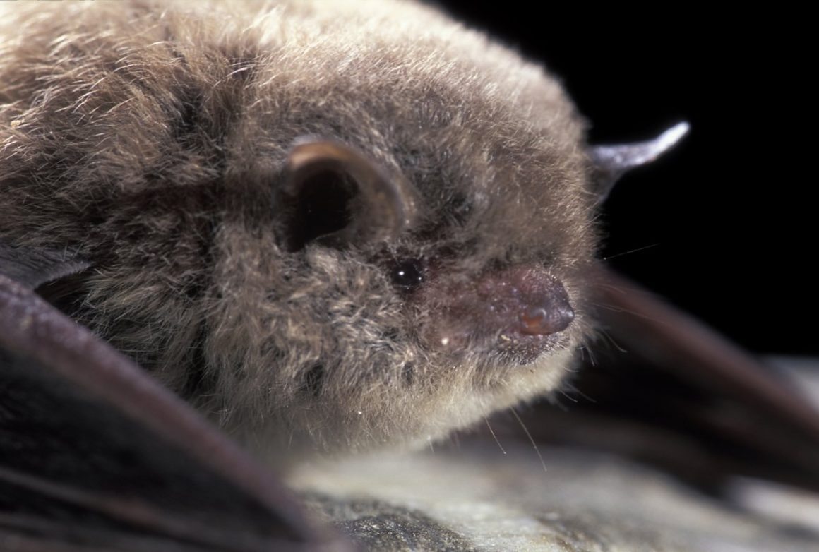 Long fingered bat
