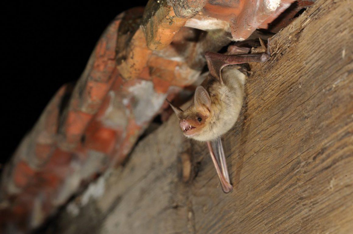 Myotis blythii (oxygnathus)