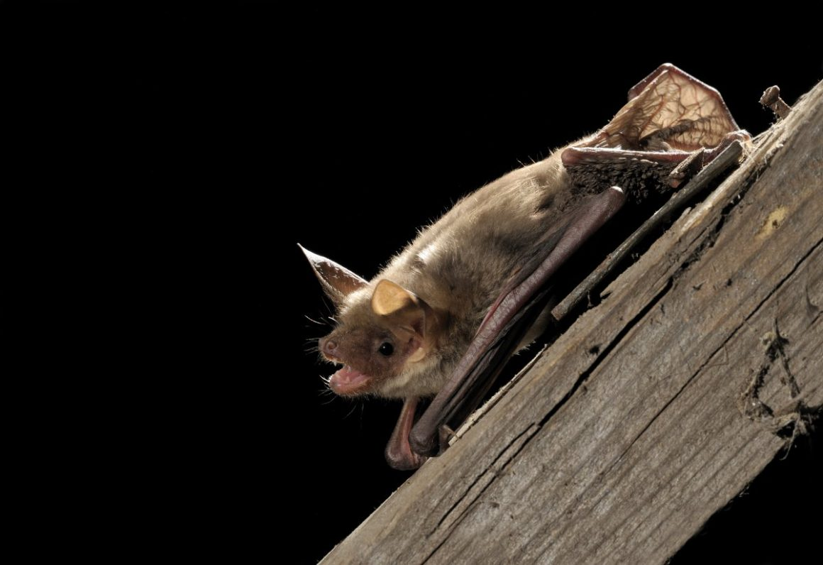 Lesser mouse eared bat