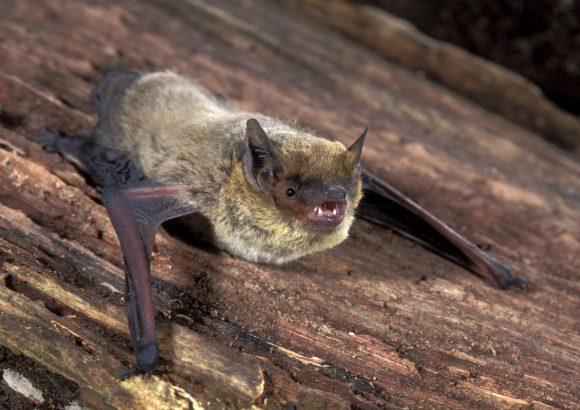 Pipistrellus kuhlii