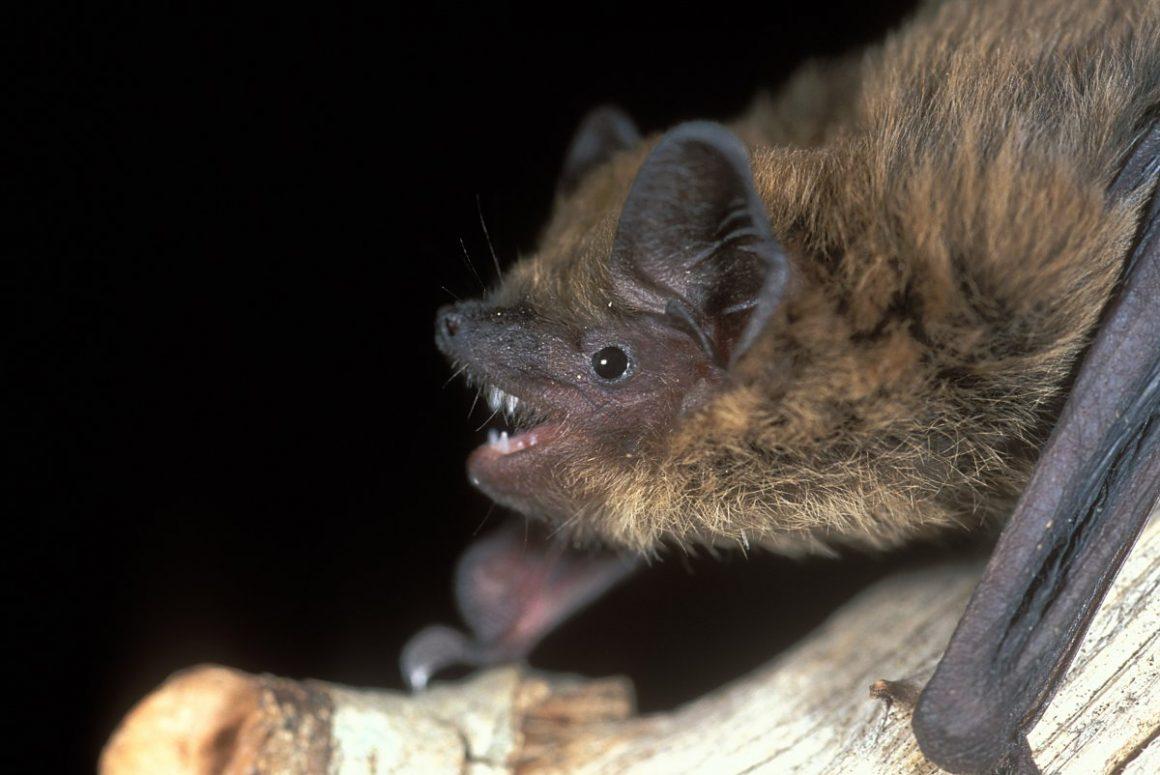 Soprano pipistrelle