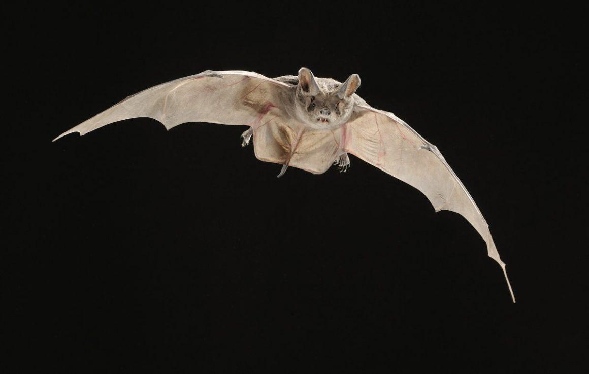 European Free Tailed Bat