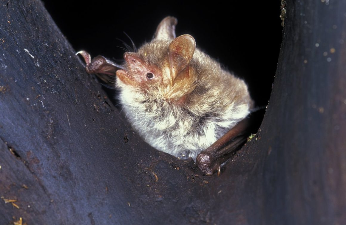 Sleeping Natterer's bat