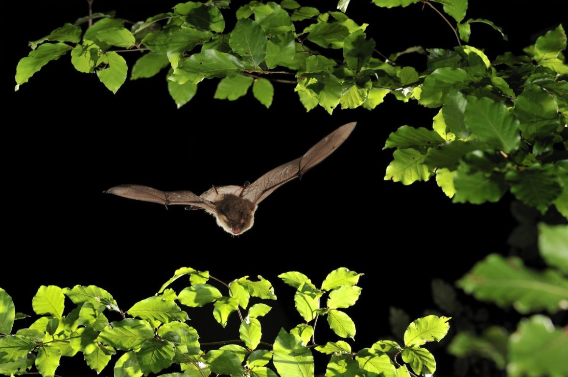 Alcathoe whiskered bat