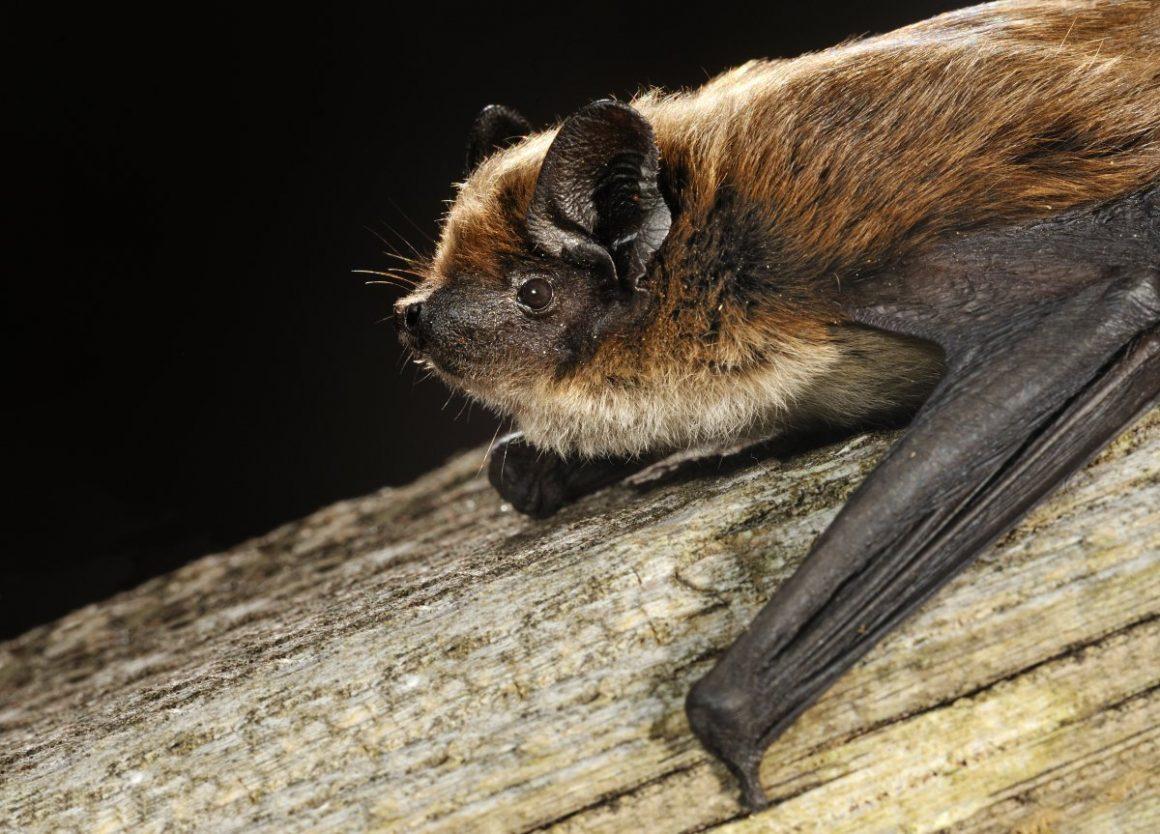 Savi's pipistrelle bat