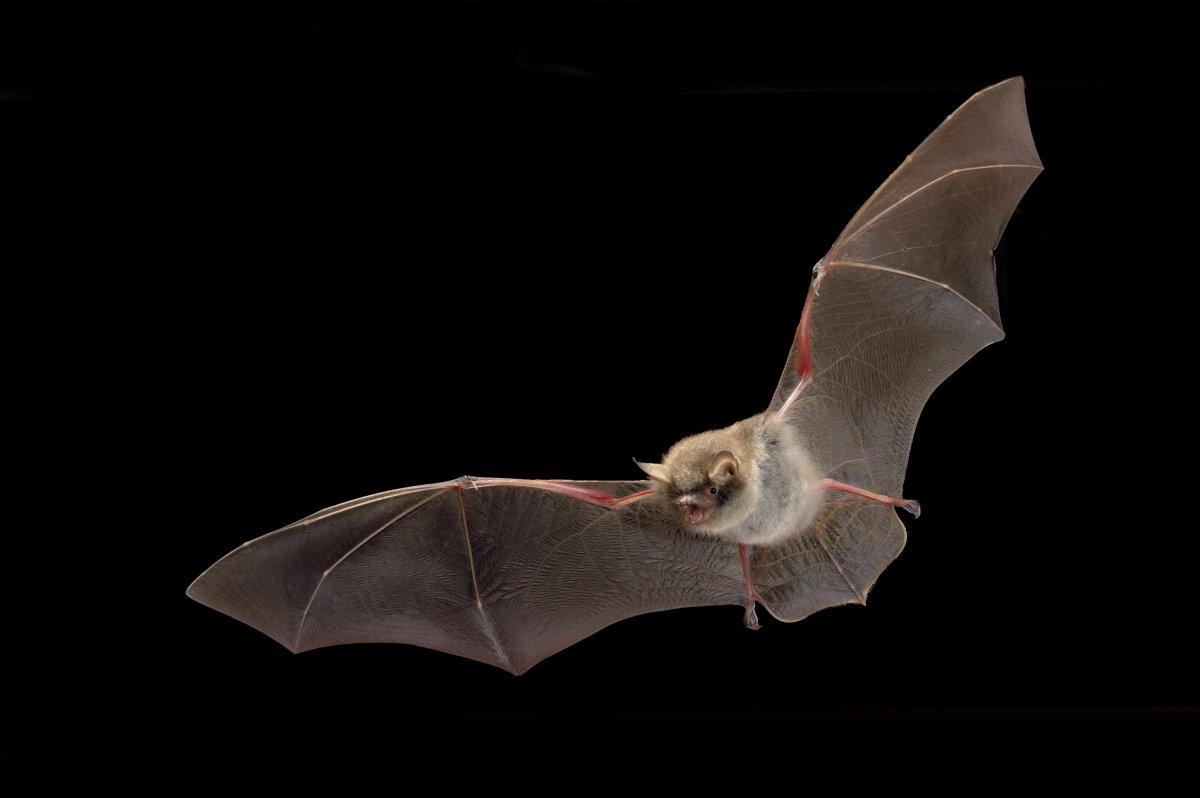 Sleeping Natterer's bat