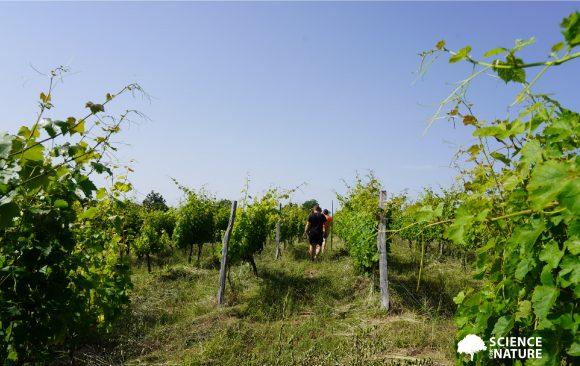 Bats as a natural regulator of pests on vineyards